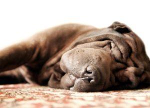 Pretty Brown Adult Shar Pei Sleeps On The Carpet